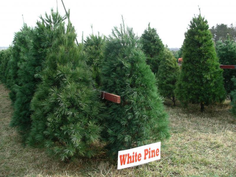 fresh cut trees scotch pine white pine fraser fir - White Pine Christmas Tree